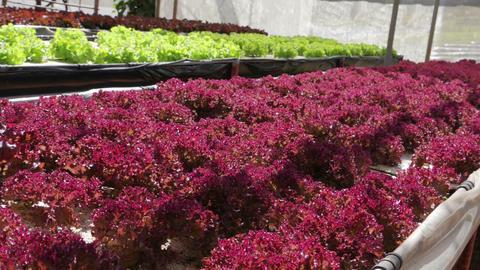 Hydroponic vegetable farm Image