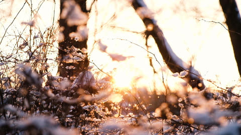 Sunset rays break through the branches of trees and bushes in the snow forest Footage