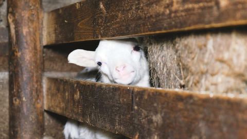 Little white lamb looks out of the pen in a stable, 4k Footage