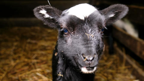 Little black lamb looking at the camera close-up, 4k Footage
