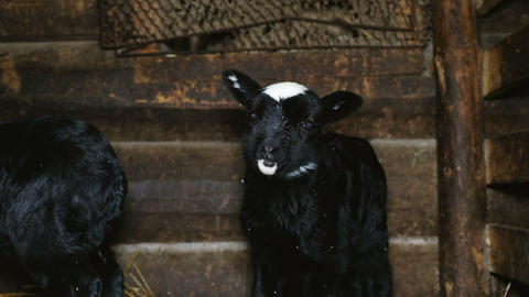 Little black lamb standing in the crib and looking into the camera, 4k Footage