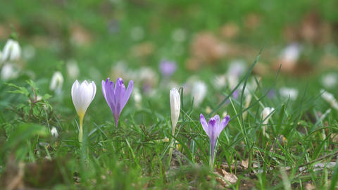 Crocus blooming Footage