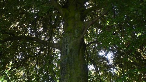Close up tilt of big green tree with sunshine Footage