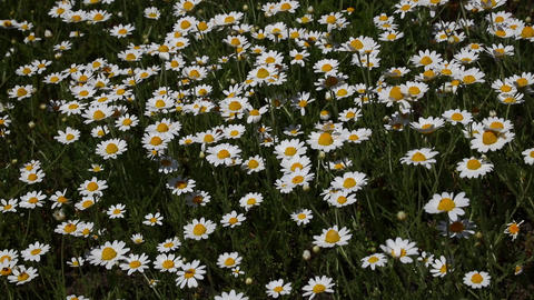 White chamomile daisy flowers in wind close up Footage