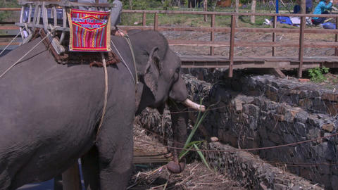 Large Elephant Rests Eats Palm Leaves by Platform Footage