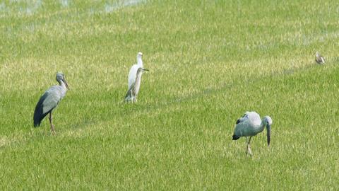 Asian openbill stork Footage