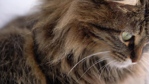 Cute muzzle of a fluffy tabby cat which washes himself Live Action