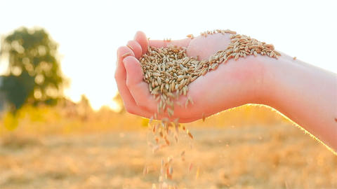 Wheat grain in a hand on sunset background. Slow motion. Sifting wheat in hand Footage