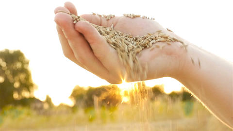 Wheat grain in hand against the background of the sun. Slow Shot Sifting of Footage