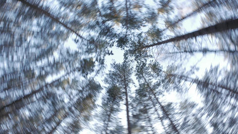 Pines in the forest seen from ground up Footage