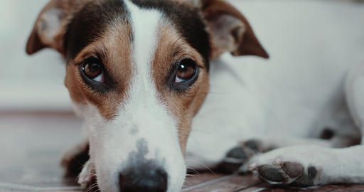 Jack Russell Terrier lays onlays on his place Footage