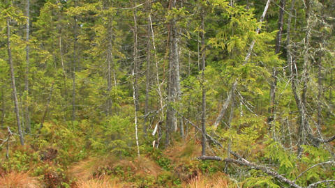 landscape with swamp in Carpathians forest with fir-trees Live Action