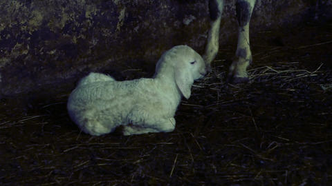 little newborn lamb, with difficulty sits on the ground near the mother sheep Footage