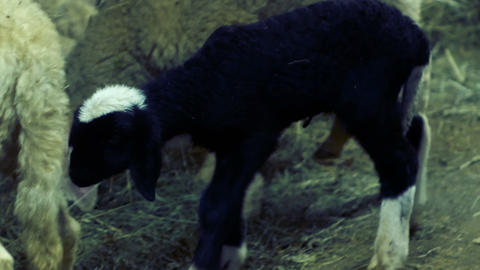 newborn black lamb, turns curious for the barn Footage