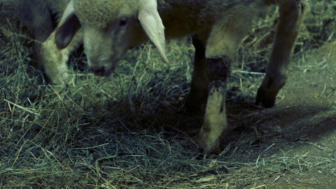 medium-sized lamb eats hay in the barn Footage