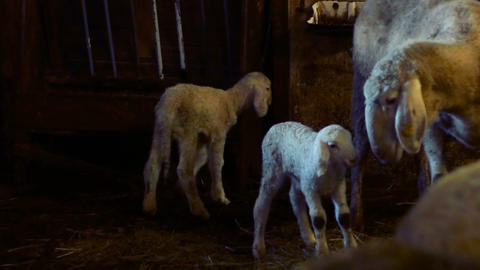 mother sheep protects her newborn lambs Footage