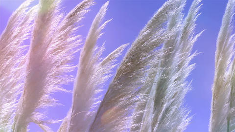 Reeds waving in the wind. Natural background Footage