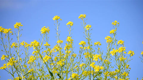 small yellow flowers against the blue clear sky Footage