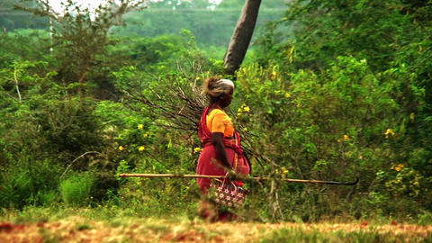 Village old Indian women carrying firewood and walking at field Live Action