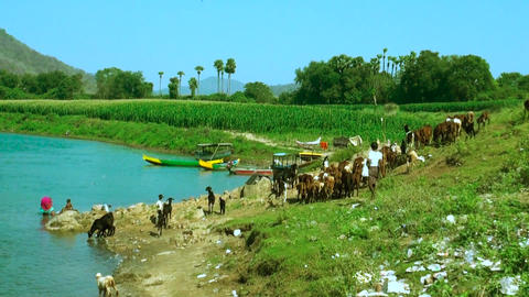 Indian woman washing dress at river, A man and Goats in the river Live Action