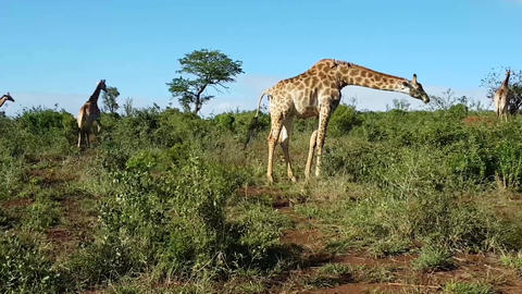 giraffes in the African savanna (Uganda) Footage
