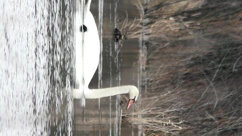 Vertical video. Wild swan swims in the frame. Russia Archivo