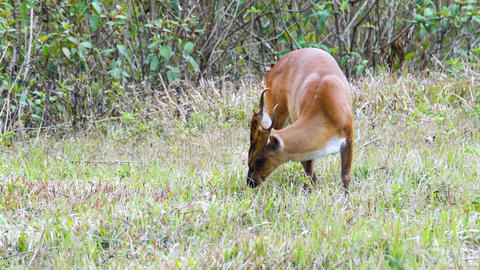 The Indian muntjac eating grass 影片素材