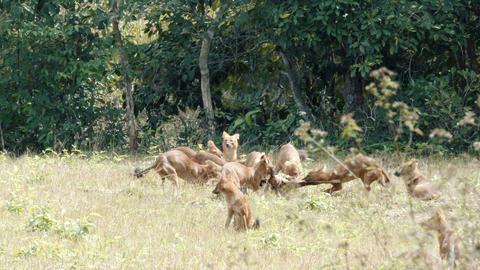asian wild dog eating deer Footage