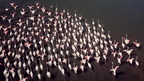 Lake Nakuru in Kenya, a flock of pink flamingos Footage