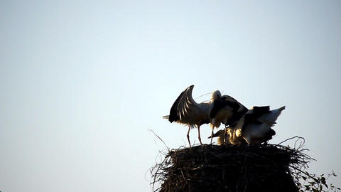 Stork slow motion Footage