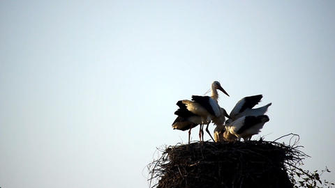 Stork slow motion Stock Video Footage