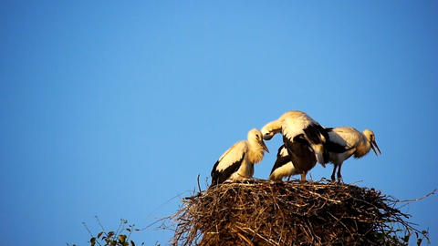 Storks nest Stock Video Footage