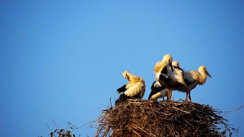 Storks nest Footage