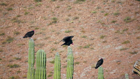 Three Turkey Vultures Stretching Stock Video Footage