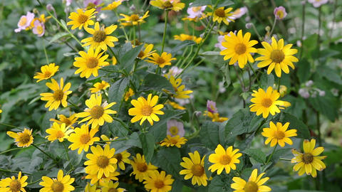 Yellow rudbeckia flowers in the garden on wind Stock Video Footage