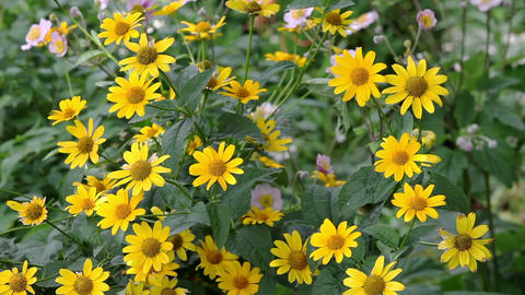 Yellow Rudbeckia Flowers In The Garden On Wind stock footage