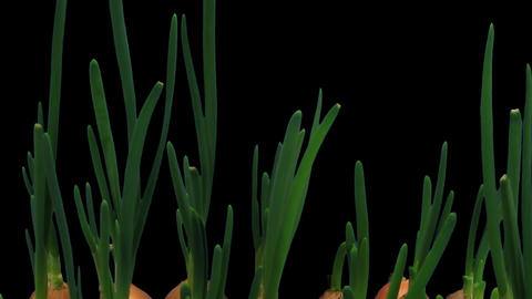 Time-lapse of growing onion with ALPHA channel Footage