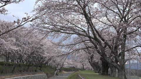 4K Cherry Blossoms Of Japan Sakura Collection