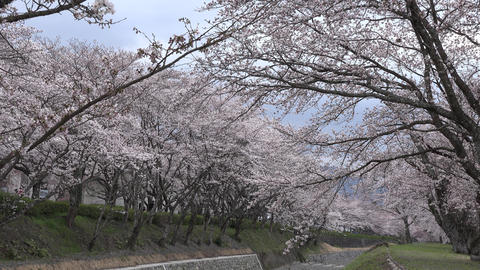 4K Cherry Blossoms Of Japan Sakura Collection 0