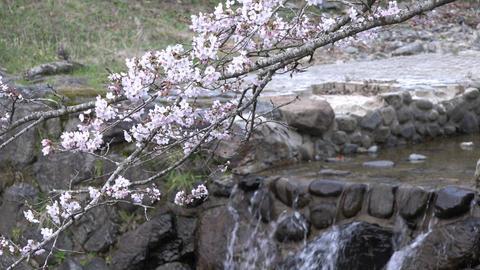 4K Sakura Cherry blossom and fall Kyoto Japan Live Action
