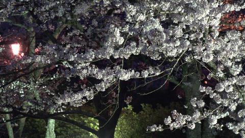4K Cherry Blossom at night Kyoto / 夜桜ライトアップ Live Action