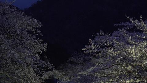 4K Sakura at Night Kyoto Japan / 夜桜ライトアップ 和らぎの道・京 ビデオ