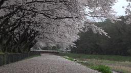4K Sakura Cherry Blossom Shower / 桜吹雪 京都亀岡市 Live Action