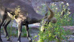 One mountain-goat with big horns eating green bushes outdoors. Adult wild goat Footage