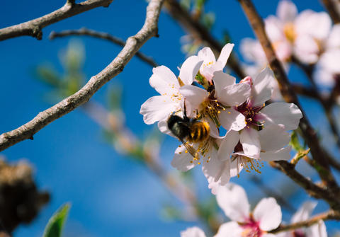 Bee in a Spring Flower of a Tree and Branches Photo