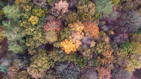 Aerial drone view of autumn colors flying over a forest Footage
