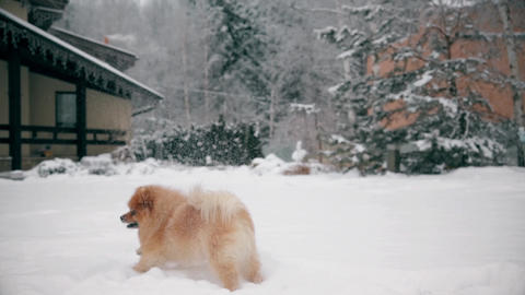 Beautiful young little dog Spitz jumping and catching snow Footage