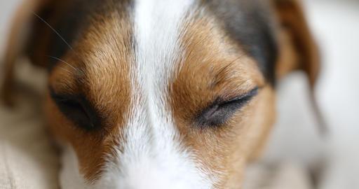 jack russell dog sleeping Archivo