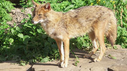 Golden jackal sniffing ground in forest, marking territory. Golden wolf hunting Footage