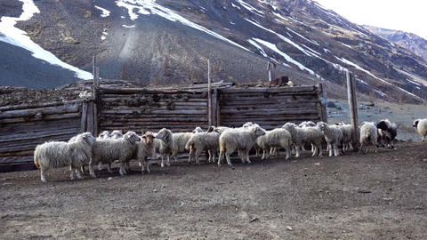 sheep on farm in mountains, Altai Russia Footage